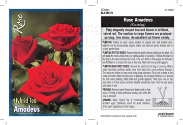 Picture of ROSE AMADEUS (HT)