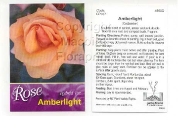 Picture of ROSE AMBERLIGHT (HT)