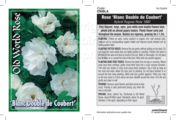 Picture of ROSE BLANC DOUBLE DE COUBERT (OW)