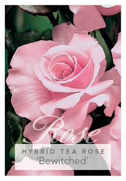 Picture of ROSE BEWITCHED (HT)