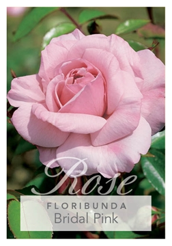 Picture of ROSE BRIDAL PINK (FL)