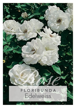 Picture of **ROSE EDELWEISS (FL)