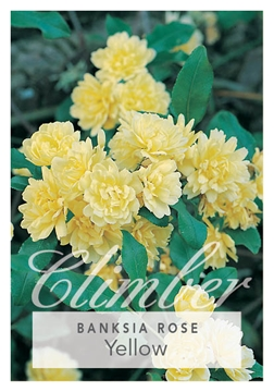 Picture of **ROSE ROSA BANKSIAE LUTEA YELLOW BANKSIA