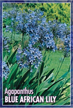 Picture of AGAPANTHUS BLUE AFRICAN LILY