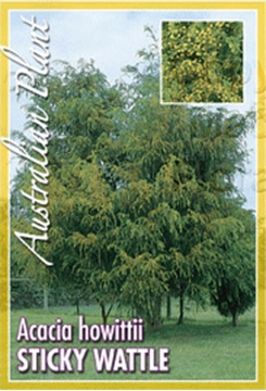 Picture of ACACIA HOWITTII STICKY WATTLE