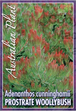 Picture of ADENANTHOS CUNNINGHAMII PROSTRATE WOOLLYBUSH