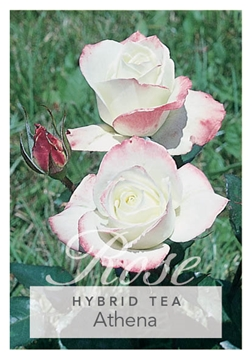 Picture of ROSE ATHENA (HT)