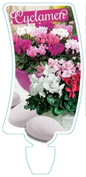 Picture of HOUSEPLANT CYCLAMEN