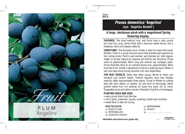 Picture of **FRUIT PLUM ANGELINA