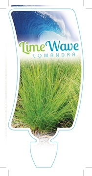 Picture of LOMANDRA LIME WAVE