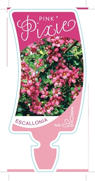 Picture of ESCALLONIA PINK PIXIE
