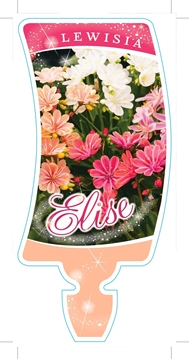 Picture of **LEWISIA ELISE