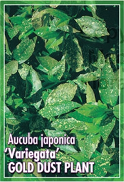 Picture of AUCUBA JAPONICA VARIEGATA GOLD DUST PLANT