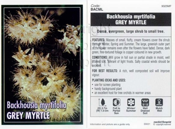 Picture of BACKHOUSIA MYRTIFOLIA GREY MYRTLE