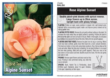 Picture of ROSE ALPINE SUNSET (HT)