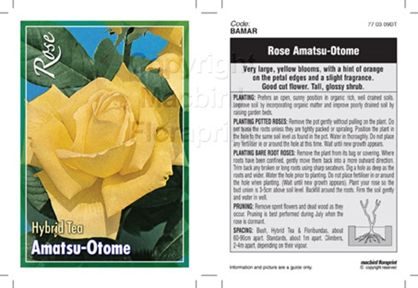 Picture of ROSE AMATSU OTOME (HT)