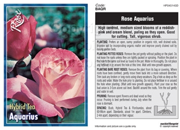 Picture of ROSE AQUARIUS (HT)
