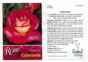 Picture of ROSE COLORAMA (HT)