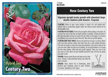 Picture of ROSE CENTURY TWO (HT)