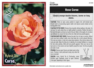 Picture of ROSE CORSO (HT)