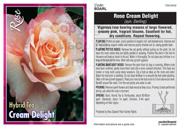 Picture of ROSE CREAM DELIGHT (SYN DARLING) (HT)