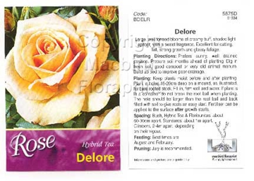 Picture of ROSE DELORE (HT)