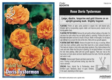 Picture of ROSE DORIS TYSTERMAN (HT)
