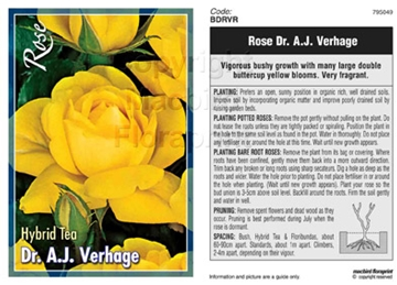 Picture of ROSE DR A J VERHAGE (HT)