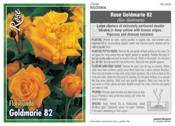 Picture of ROSE GOLDMARIE 82 SYN GOLDMARIE (FL)