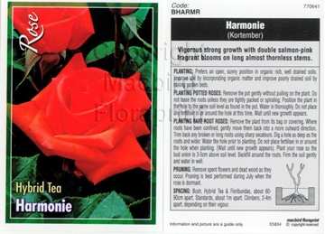 Picture of ROSE HARMONIE (HT)