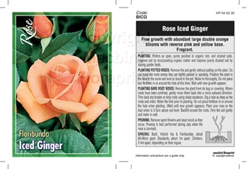 Picture of ROSE ICED GINGER (FL)