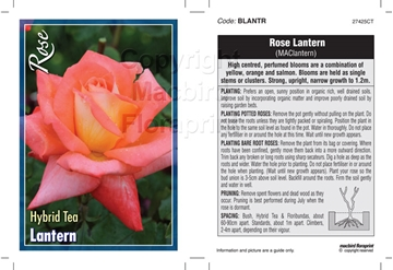 Picture of ROSE LANTERN (HT)
