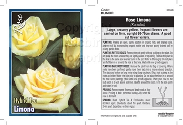 Picture of ROSE LIMONA (HT)