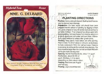 Picture of ROSE MME G DELBARD (HT)