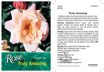 Picture of ROSE TRULY AMAZING (HT)