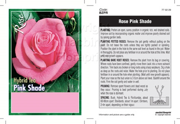 Picture of ROSE PINK (UNNAMED VARIETY) (HT)