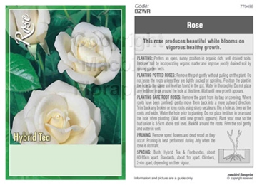 Picture of ROSE WHITE (UNNAMED VARIETY) (HT)