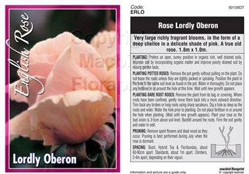 Picture of ROSE LORDLY OBERON (ER)