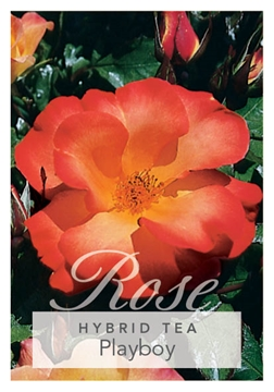 Picture of ROSE PLAYBOY (FL)