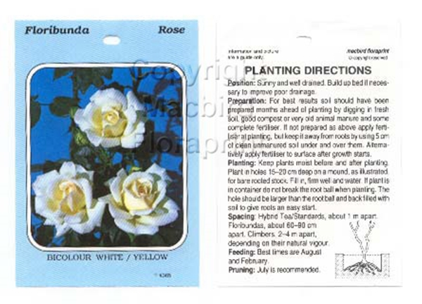 Picture of ROSE BICOLOUR WHITE YELLOW (UNNAMED VARIETY) (FL)