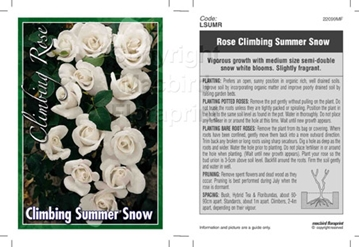 Picture of ROSE CL SUMMER SNOW