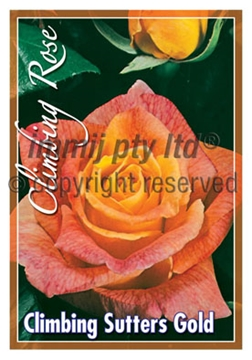 Picture of ROSE CL SUTTERS GOLD
