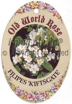 Picture of ROSE FILIPES KIFTSGATE (OW)