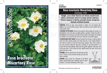 Picture of ROSE CL ROSA BRACTEATA MACARTNEY ROSE (OW)