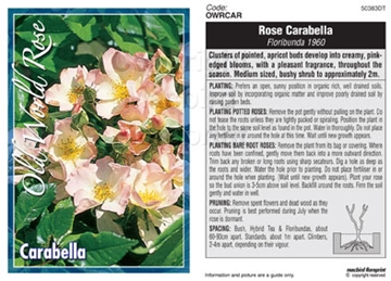 Picture of ROSE CARABELLA (OW)