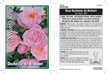 Picture of ROSE DUCHESSE DE BRABANT (OW)