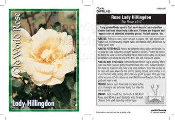 Picture of ROSE LADY HILLINGDON (OW)