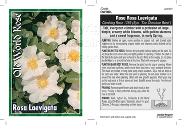 Picture of ROSE CL ROSA LAEVIGATA (OW)