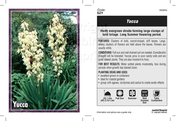 Picture of YUCCA