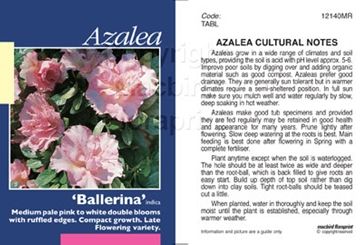 Picture of AZALEA BALLERINA